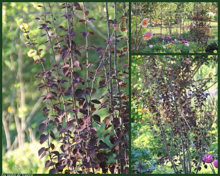 Cercidiphyllum Rotfuchs