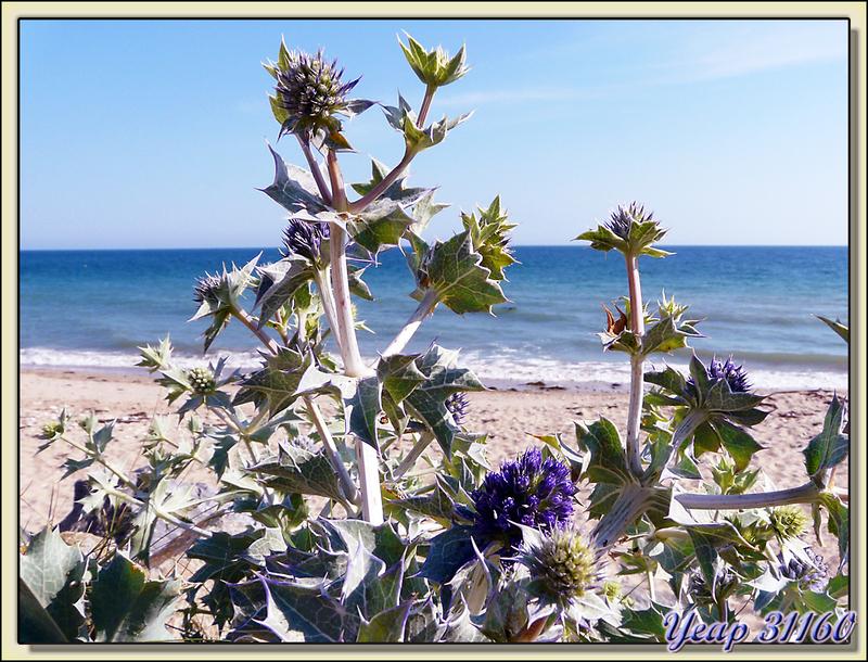 Panicaut maritime (Eryngium maritimum), chardon bleu des dunes - La Couarde-sur-Mer - Ile de Ré - 17