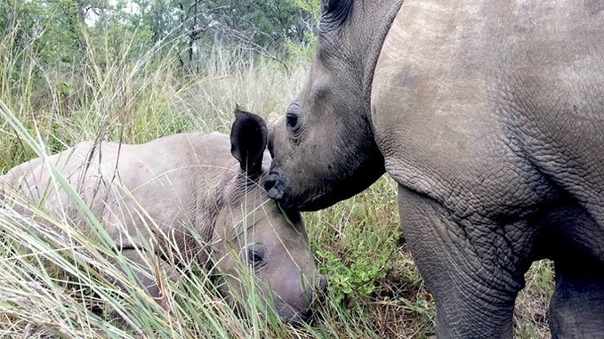 Un bébé rhino tente de réveiller sa maman… tuée par des braconniers