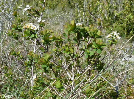 Spiraea hypericifolia subsp. obovata - spirée à feuilles de millepertuis