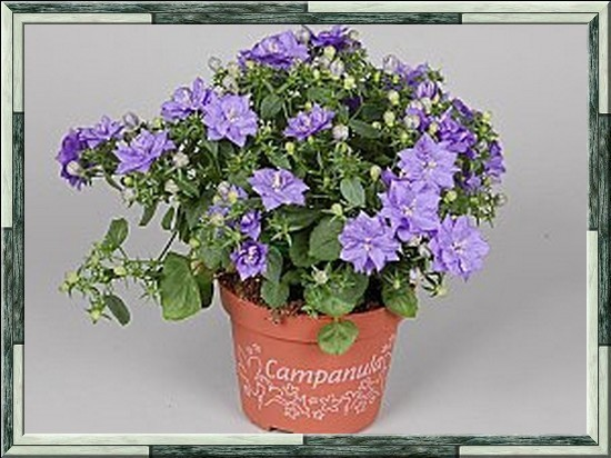 Campanula-isophylla1