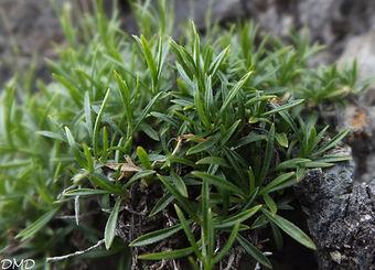 Silene saxifraga  -  silène saxifrage