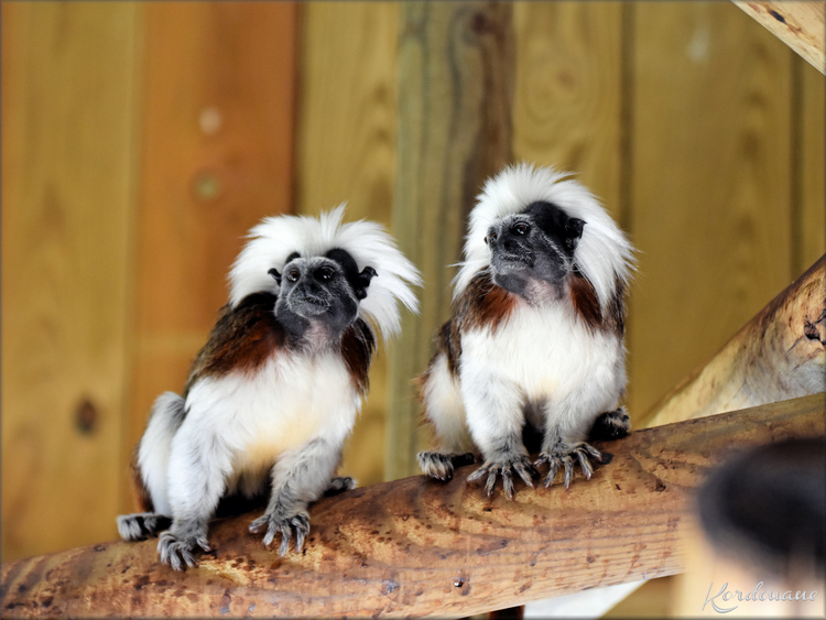 Photo de Tamarin Pinché - Zoo d'Arcachon