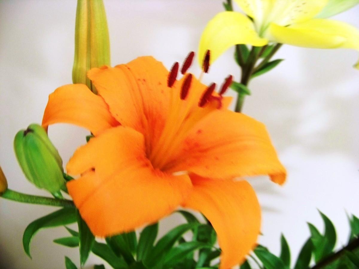 Fonds D Ecrans Des Fleurs Lys Orange Fathia Artdeco