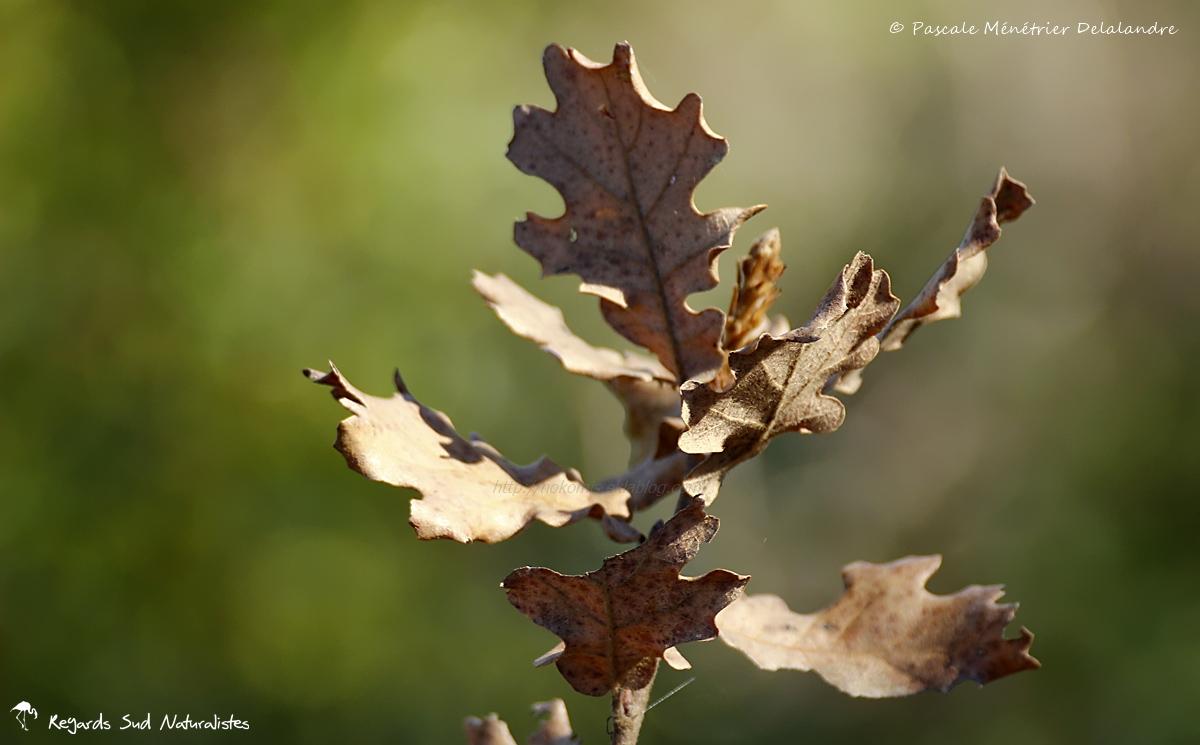 Chêne pubescent - Chêne blanc
