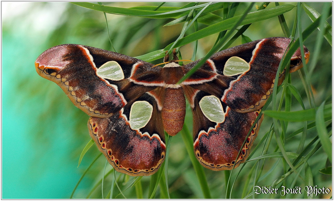 Atlas / Attacus atlas