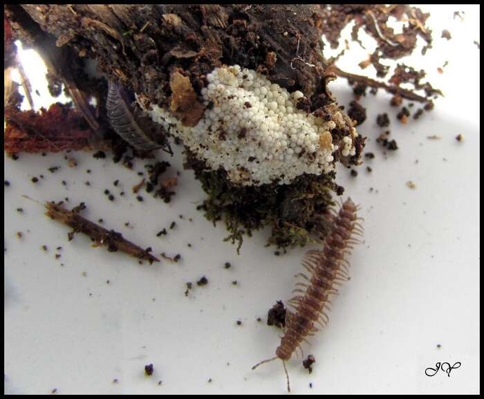 Myxomycètes à identifier.