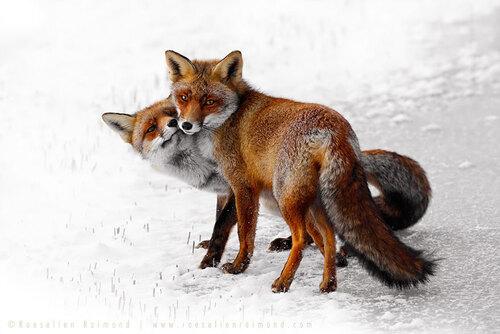 la beauté sauvage des renards