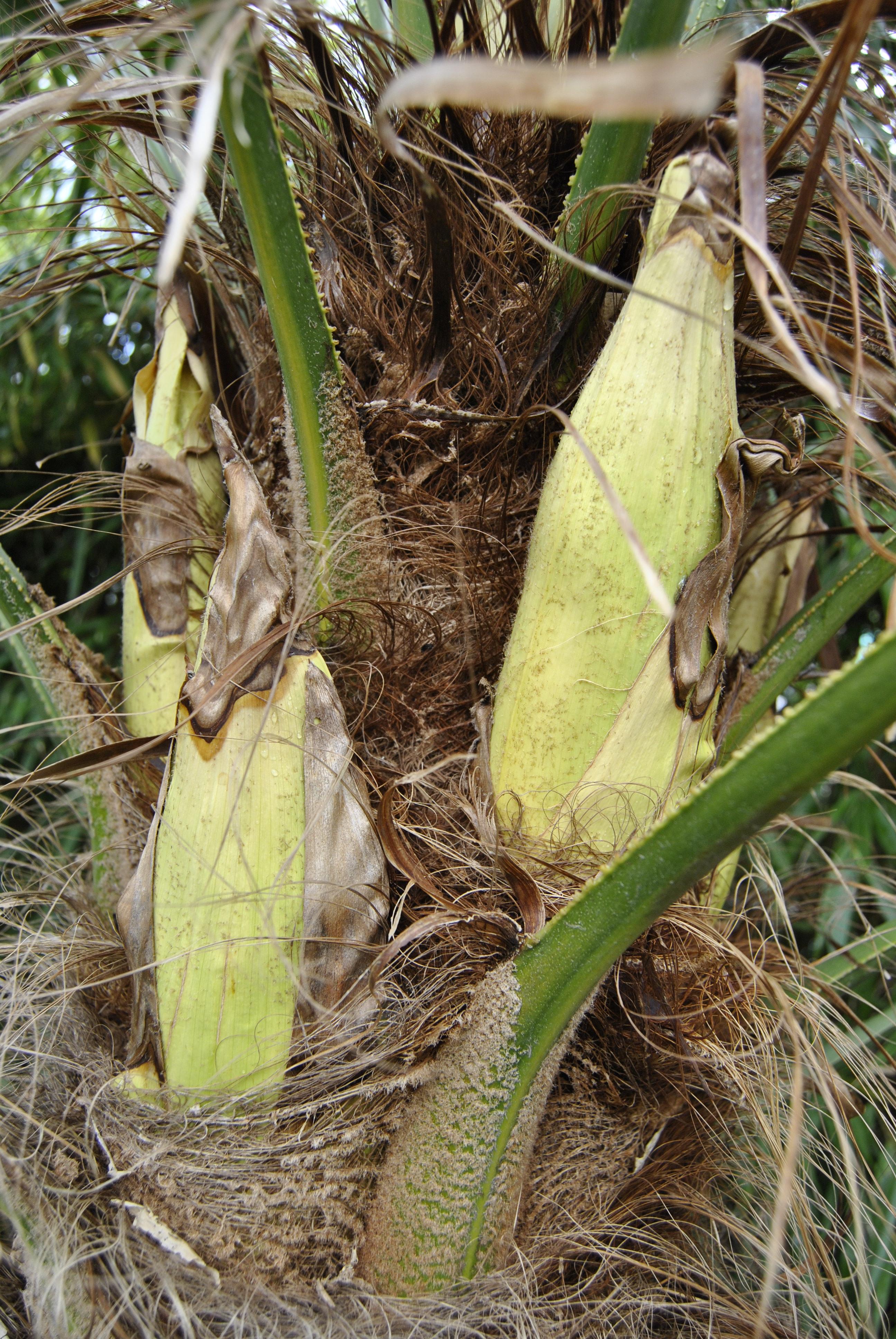 Palmier malade soigner un palmier malade with palmier malade elegant arbres et arbustes les - Racine d un palmier ...