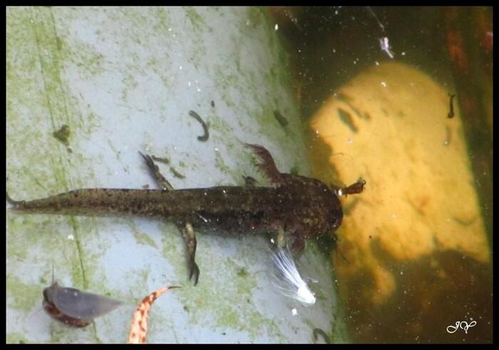 amphibiens.