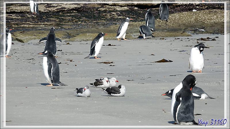 Cohabitation paisible entre les Manchots papous et les Goélands de Scoresby - Saunders Island - Falkland (Malvinas, Malouines) - Grande-Bretagne