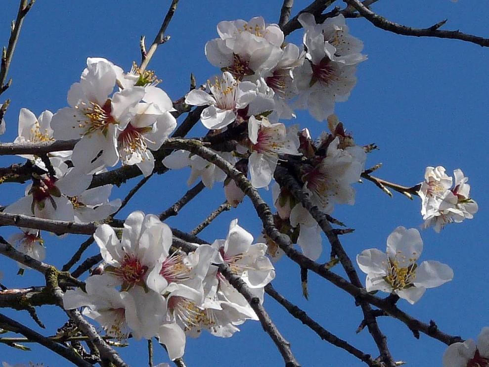 Amandier fleurs 01