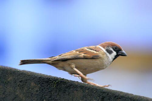 Moineau friquet (Eurasian Tree Sparrow)