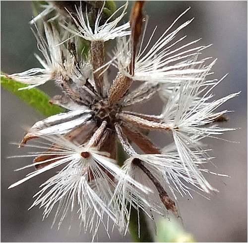 Vertus médicinales des plantes sauvages : Solidage