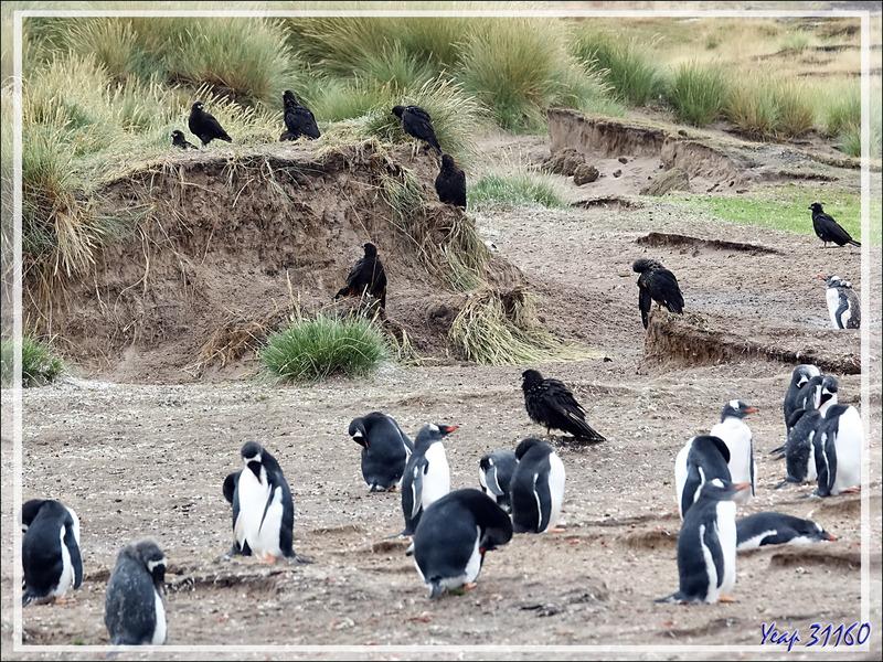 Nous revenons vers la plage, direction une nursery de Manchots papous, Gentoo Penguin (Pygoscelis papua) - West Falkland (Malvinas, Malouines) - Grande-Bretagne