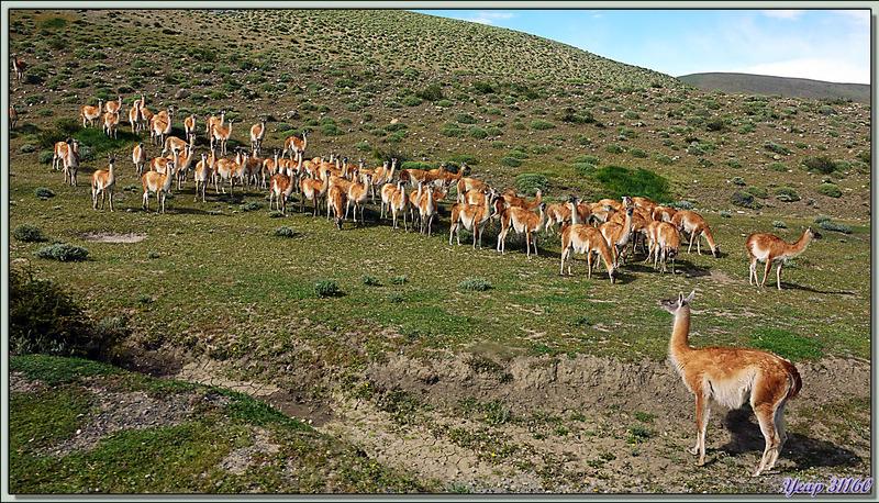 Troupeau de Guanacos (Lama glama guanacoe) - Torres del Paine - Patagonie - Chili