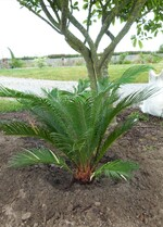 cycas revoluta - plant 2