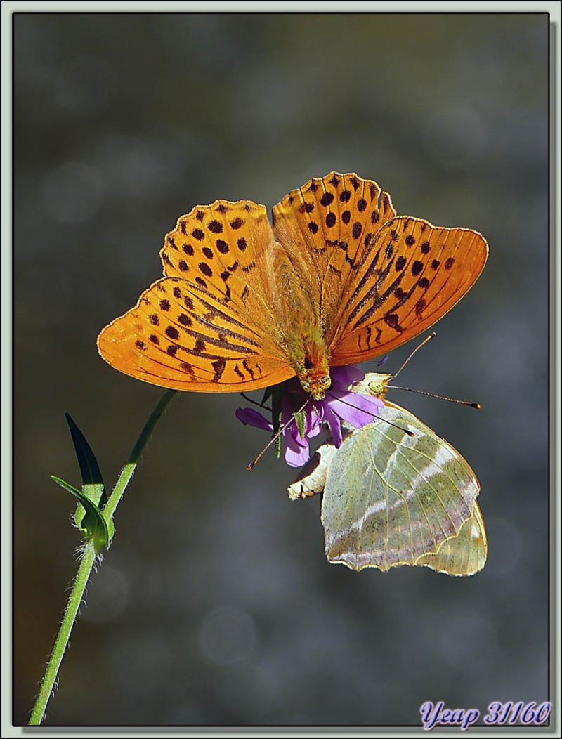 Papillon Tabac d'Espagne (Argynnis paphia) - Orlu - Ariège (09)  (Faune)