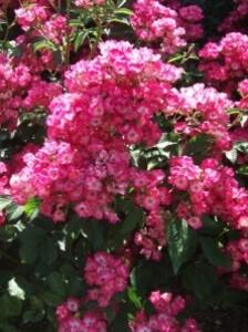 rosa Schubert mosh hyb lens 84