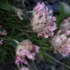 Anthyllide vulnéraire des Pyrénées (Anthyllis vulneraria subsp. pyrenaica