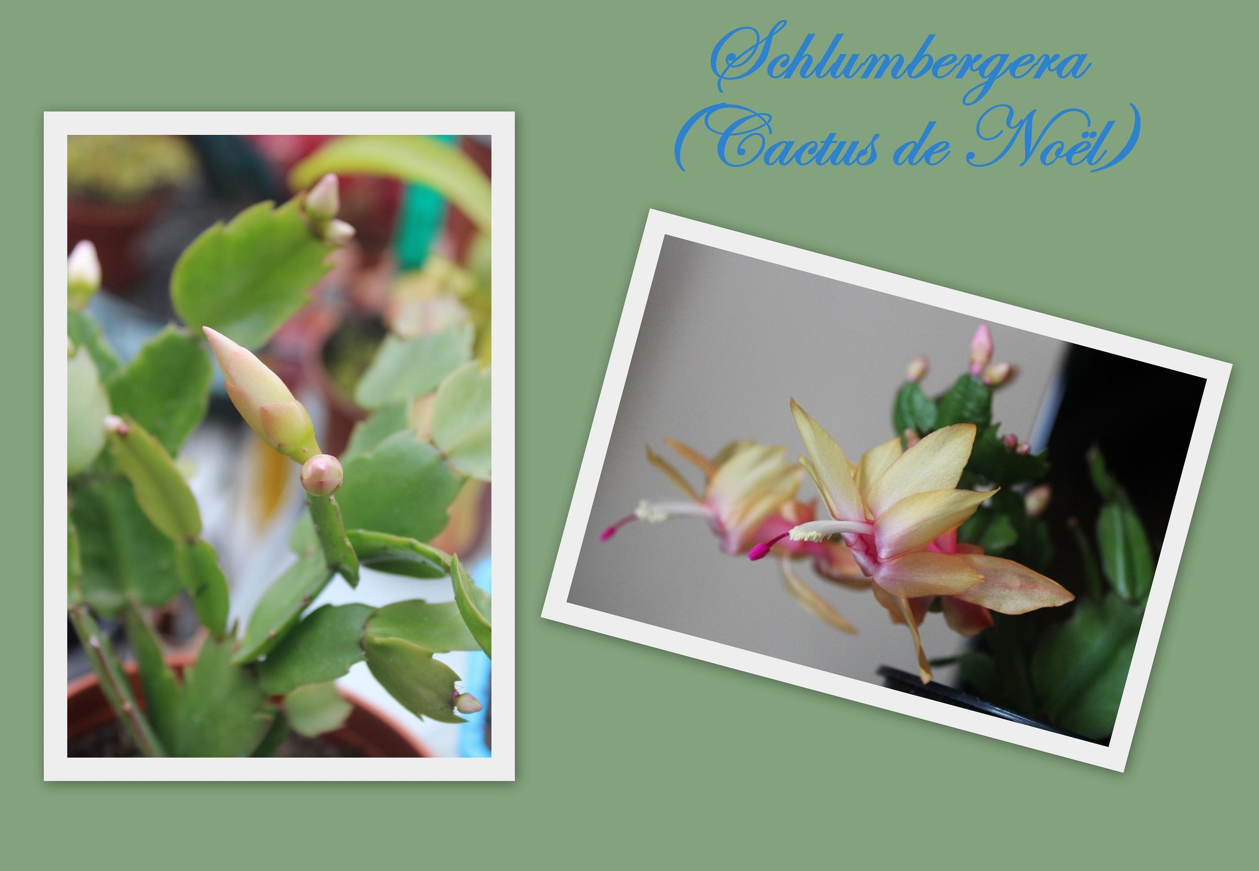 schlumbergera ou cactus de noël - photos nature lydienaturegreen