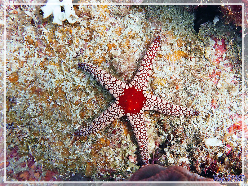Etoile à mailles rouges, Red mesh starfish, Necklace sea star (Fromia monilis) - Betaniazo - Tsarabanjina - Mitsio - Madagascar