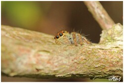 SALTICIDAE : Araignées sauteuses