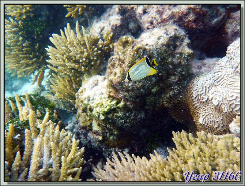 Poisson-papillon à chevrons ou Chétodon tête de flèche (grand juvénile), Chevron butterflyfish or Chevroned butterflyfish (Chaetodon trifascialis) - Motu Varney - Atoll Tikehau - Archipel des Tuamotu - Polynésie française
