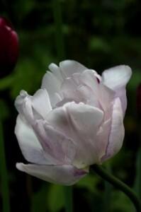 Tulipes Normandie5