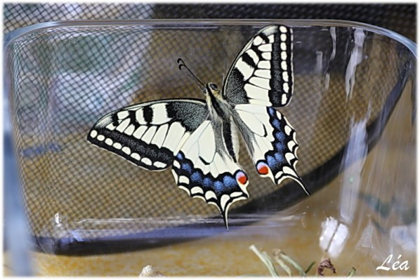 Papillons-6039-machaon-30-oct-2011.jpg