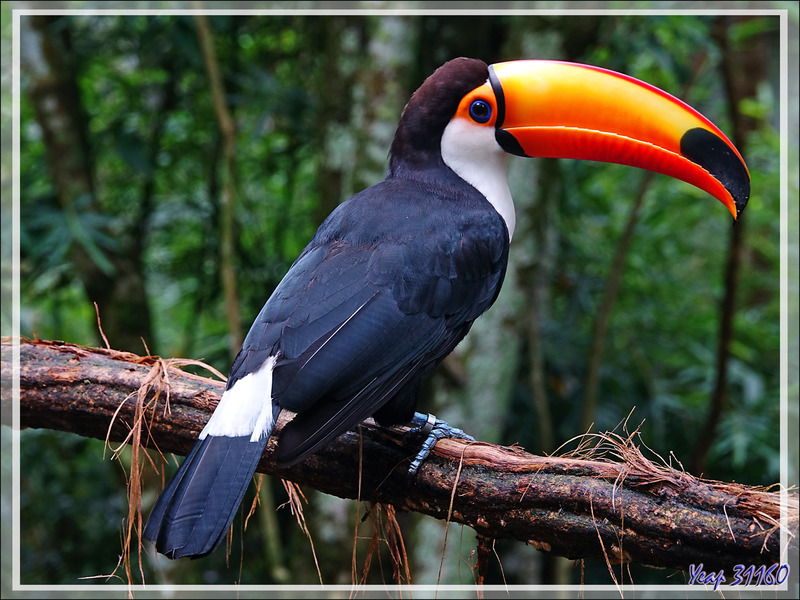 Toucan toco, Toco toucan, Tucanuçu (Ramphastos toco) - Parque das Aves - Foz do Iguaçu - Brésil