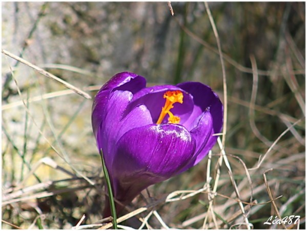 Fleurs-2-2541-crocus-violet.jpg