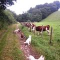 Découverte de vaches pour chiots husky 7 semaines