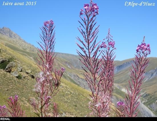 L'Alpe-d'Huez Epilobe rose(23)