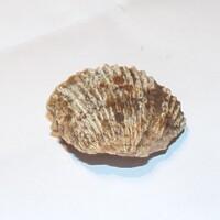 Coque fossilisée n°2