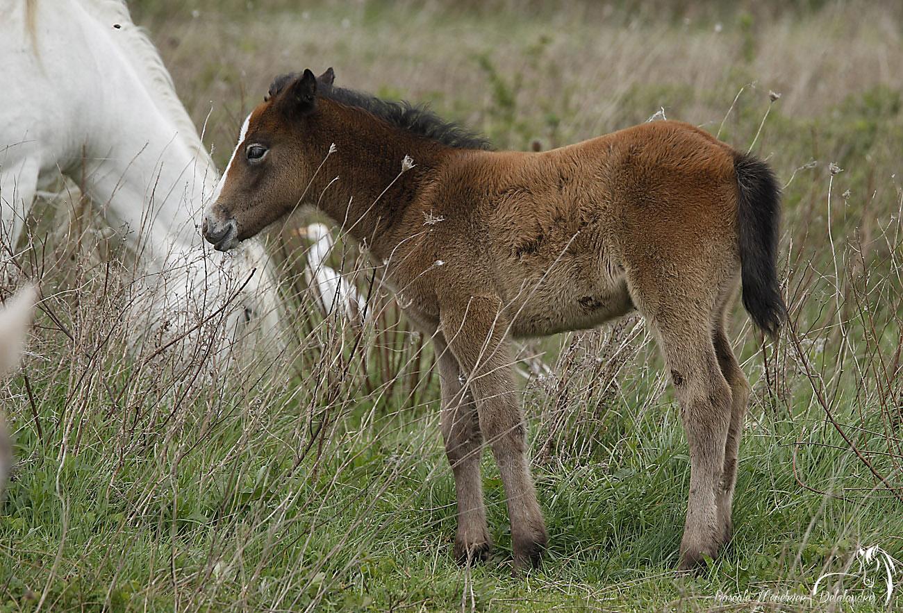 Foal de cheval Camargue