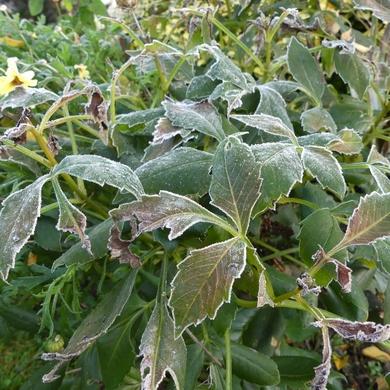 Novembre : de chrysanthèmes en premières gelées...