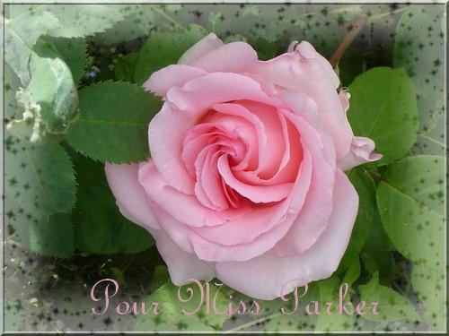 rose 11