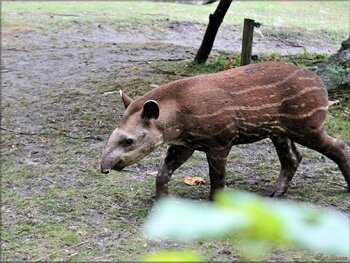 Photo de Tapir juvénile du Zoo de Pessac