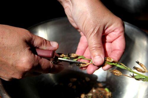 Quand récolter les graines ?