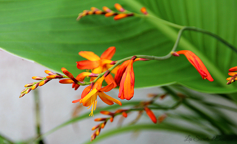Notes florales [Défi du lundi] - crocosmia