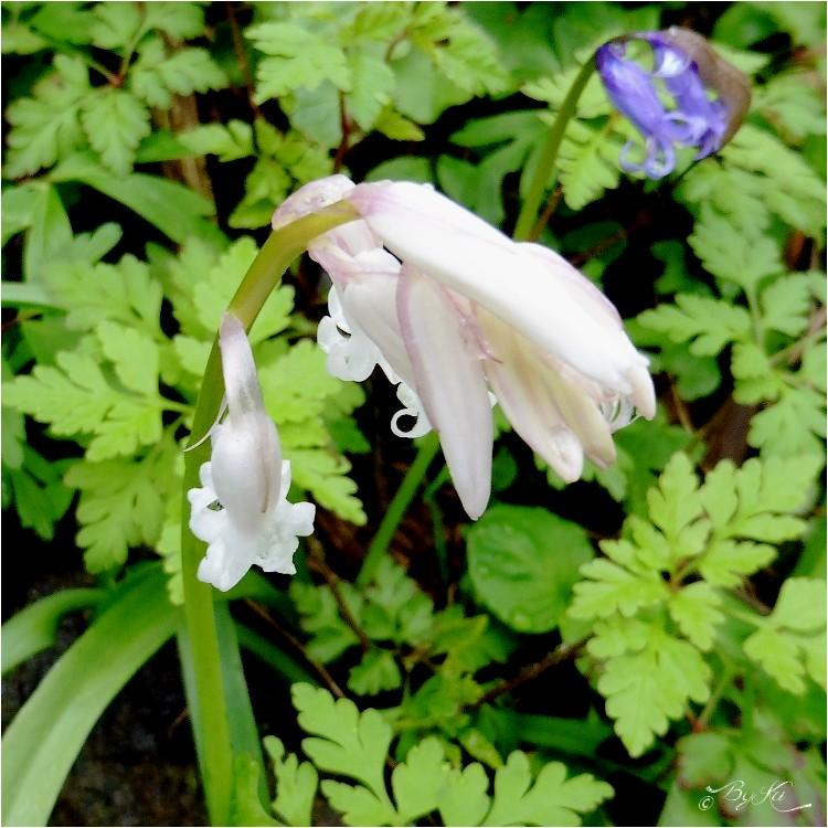 La Jacinthe des Bois (Hyacinthoides Non-Scripta ) ...