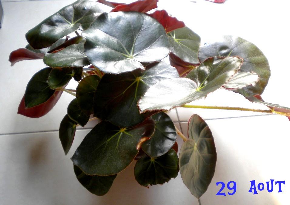b gonia erythrophylla n nuphar serre titude. Black Bedroom Furniture Sets. Home Design Ideas