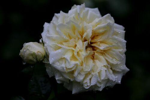 Les Roses de Warren : Skeeter