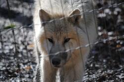 {animal de la semaine} Le loup Arctique.
