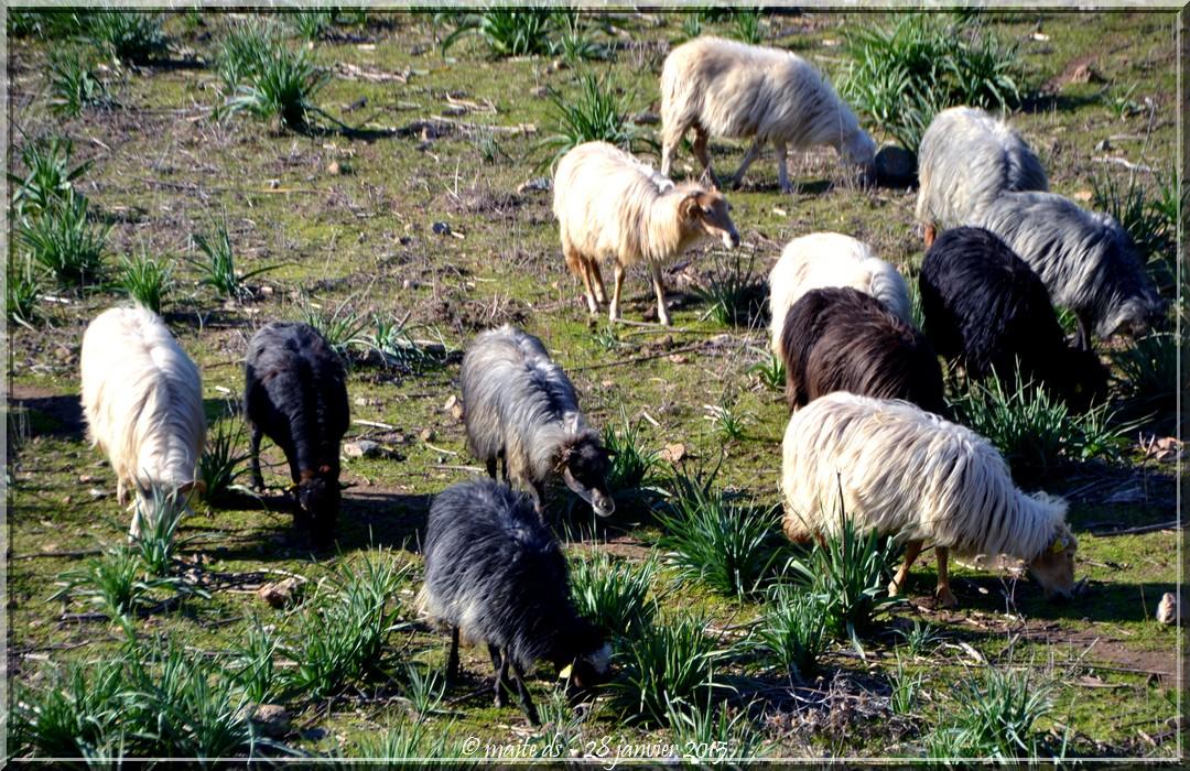 Moutons sur la route du bord de mer Galéria-Calvi - Corse