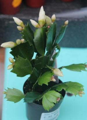 Schlumbergera ou Cactus de Noël - Fleurs Blanches