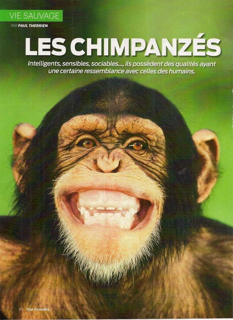 Mammifères:  Les Chimpanzés