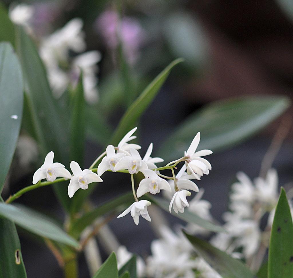 Exposition d'orchidées à Annequin (3)