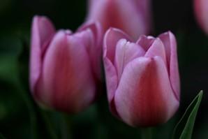 Tulipes Synaeda Amor4